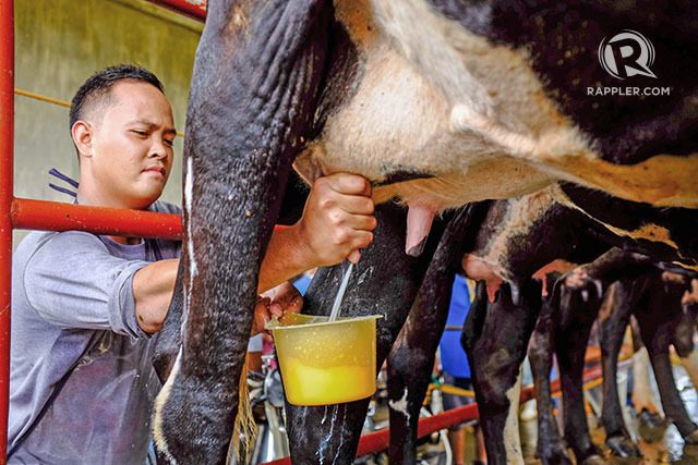 Dairy Farming in New Zealand New Zealand Dairy Farms