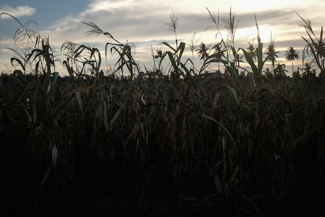 WHERE THEY FELL. The cornfields of Tukanalipao. Photo by Patricia Evangelista / Rappler