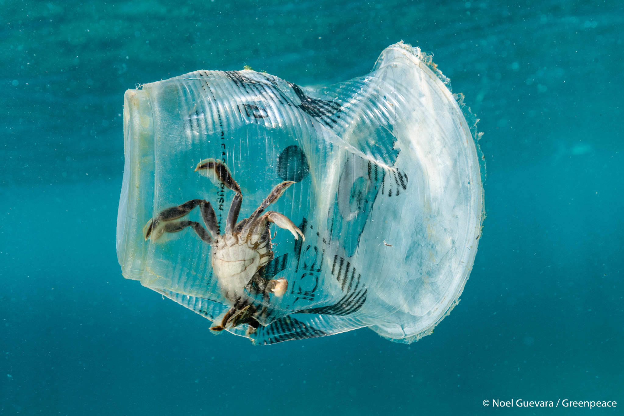 SNAGGED. A crab floats inside a plastic cup near the surface of the waters of Caban Cove, Batangas, along Verde Island Passage on March 7, 2019. Photo courtesy of Noel Guevara