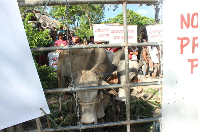 GATE GUARDIANS. 'Aggressive' bulls are tied behind the Hacienda Matias gate to prevent government forces and farmers from passing through