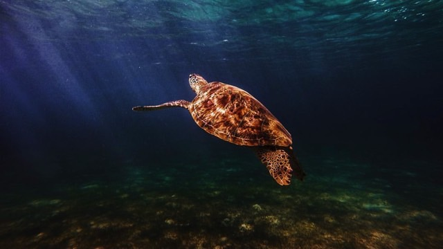 BRIGHT FUTURE. A pawikan (sea turtle) gently glides through the blue ocean. Photo by Gab Mejia/UPMBS