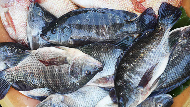 Scientists identify deadly tilapia virus for What is tilapia fish