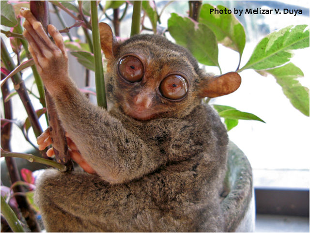 New variety of tarsier discovered in Dinagat Island, Philippines
