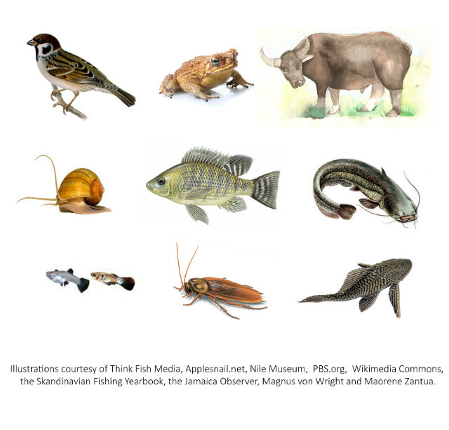INTRODUCED SPECIES. (L-R) The Eurasian tree sparrow (Passer montanus), giant cane toad (Rhinella marina), carabao (Bubalus bubalis carabanensis), golden apple snail (Pomacea canaliculata), Nile tilapia (Oreochromis niloticus), broadhead catfish (Clarias macrocephalus), guppies (Poecilia reticulata), American cockroach (Periplaneta americana) and common plecostomus (Pterygoplichthys pardalis.