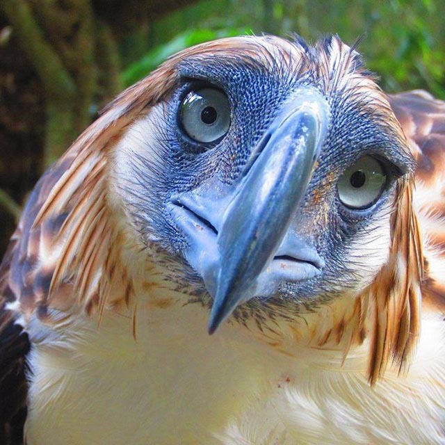 TRAGIC END. Two months after she was freed by conservationists, Pamana's carcass was found near a creek in Mount Hamiguitan, supposedly her sanctuary.  Photo courtesy of the Philippine Eagle Foundation