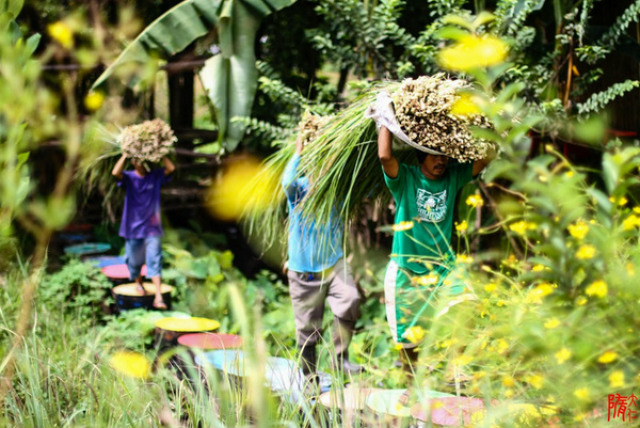 COMMUNITIES. Tanglad and camote leaves are sourced from farming communities in Bulacan and Tarlac. Photo from Human Nature website