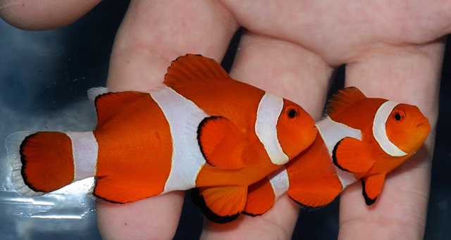 NEMO. Common Clownfish (Amphiprion ocellaris) are relatively hardy aquarium fish which can be bred in captivity. However, 75% of the global supply is still wild-caught. The Best Alternatives Campaign encourages clownfish breeding to ease the strain on wild stocks.. Photo from RVS Fishworld