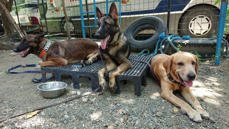 DISCIPLINED DOGS. MMDA K-9 Corps dogs are trained to behave even in the presence of strangers and other dogs.