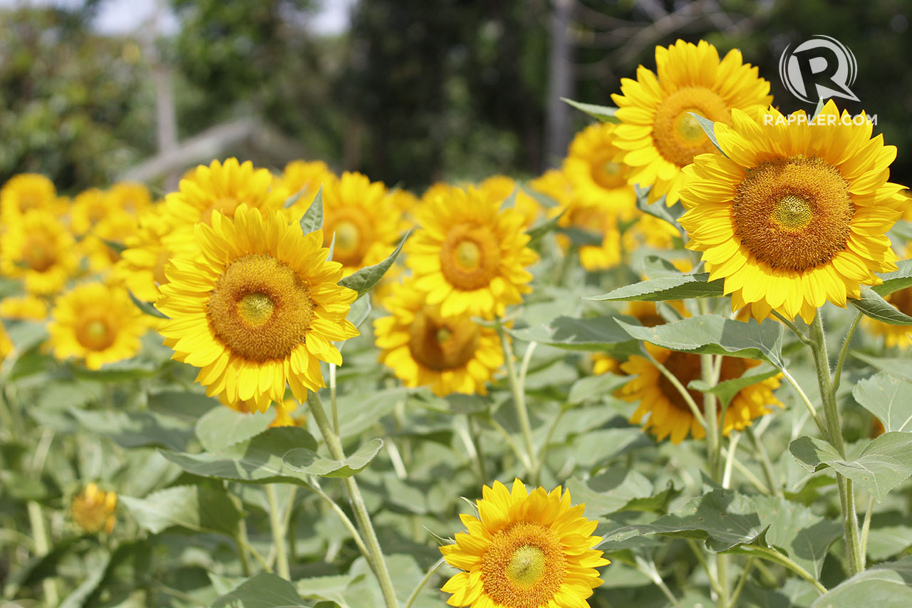 INSTAGRAM-WORTHY. Sunflowers bloom in Sunshine Farm perfect for your Instagram feed.