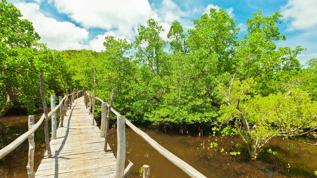 GEMS. A mangrove sanctuary in Bohol thrives under an ecotourism program. File photo