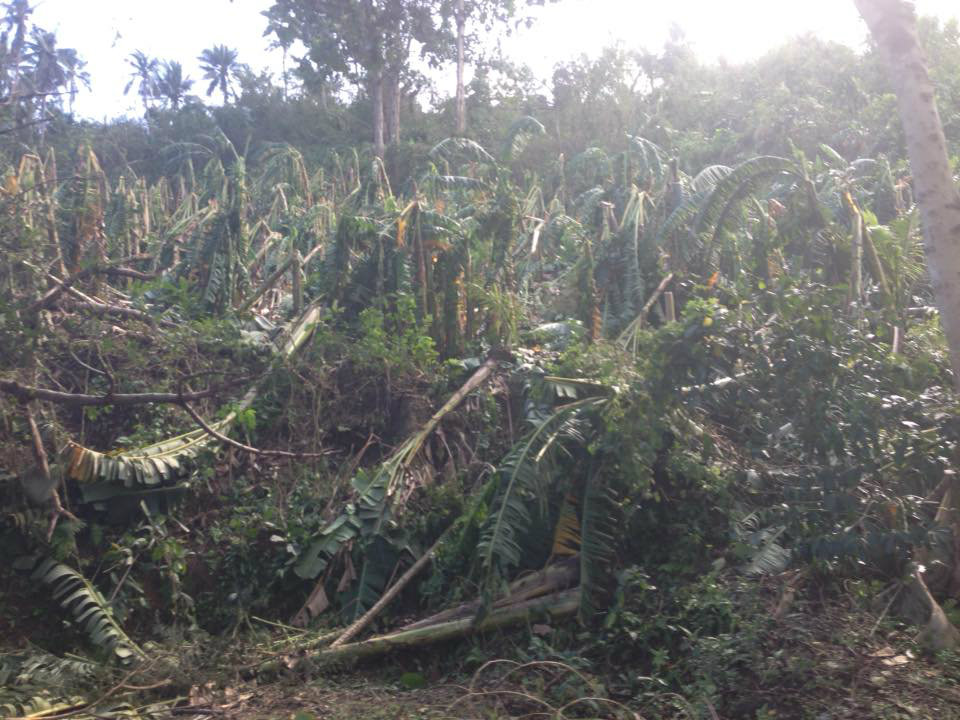 DAMAGE. Typhoon Nina destroys at least P25.14 million worth of crops across 3 regions. All photos by Enrico Belga Jr.