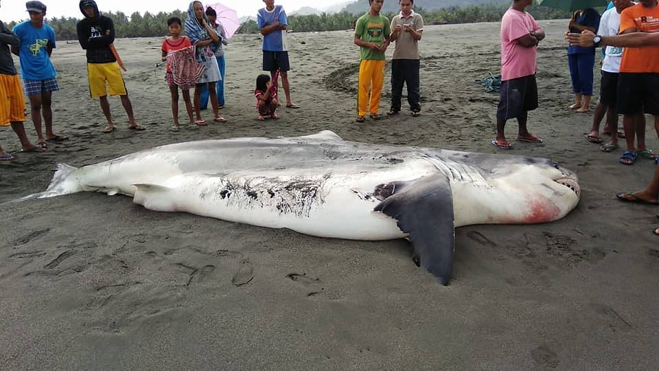 JAWS. Fishermen found a dead 17-feet Great White Shark on Wednesday, January 24, raising fear among residents of Dipaculao, Aurora. Photo by Eddie Rebueno/Facebook