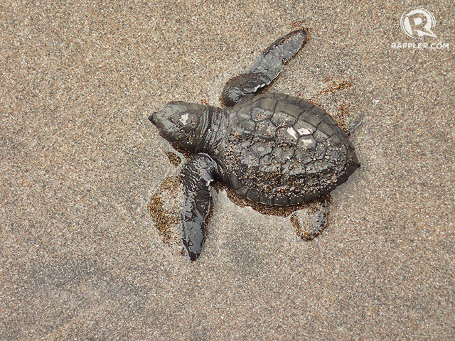 TINY. Hatchlings are usually smaller or no bigger than a fist. When female pawikans reach maturity in 25 or so years, they will return here, the shore they were born, to lay eggs.