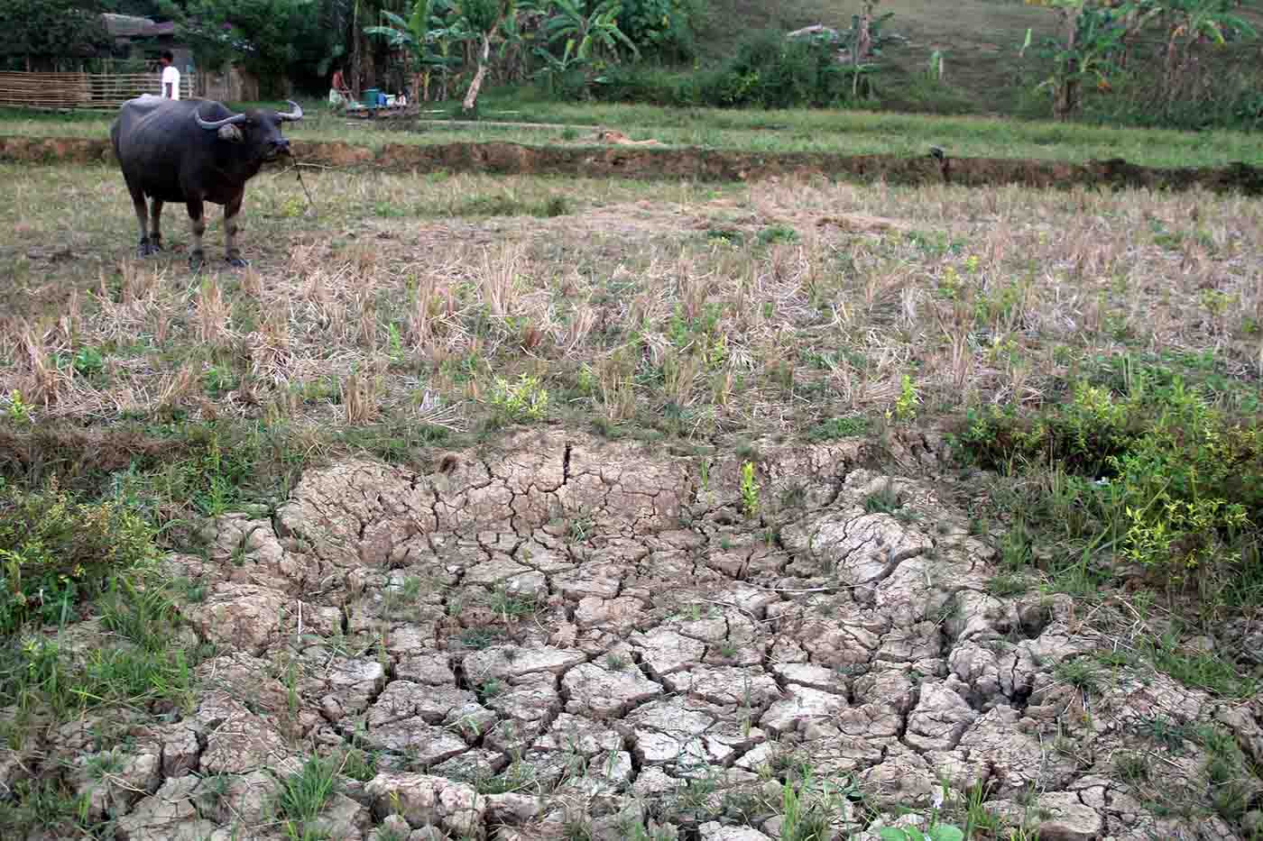 Over 1,000 hectares of riceland in Bicol barren due to drought