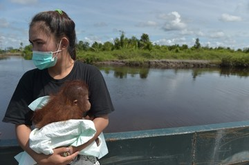 Baby orangutan rescued after being kept as a pet