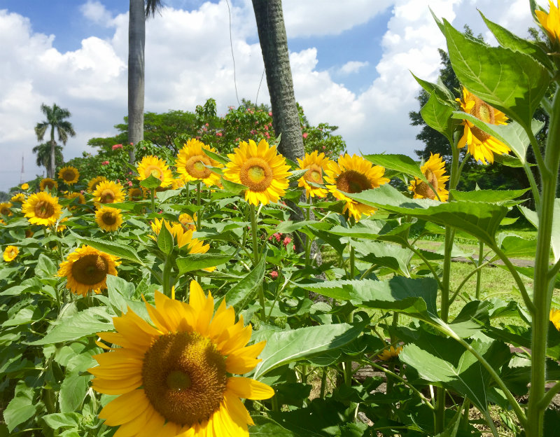 WATCH: Sunflowers Are Here To Stay U2013 UP Agriculturist