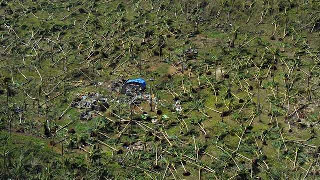 COCONUTS AND CALAMITY. This aerial photo shows uprooted coconut trees on a hill near the town of Guiuan in Eastern Samar 3 days after Super Typhoon Yolanda (Haiyan) struck on November 8, 2013. File photo by Agence France-Presse/Ted Aljibe