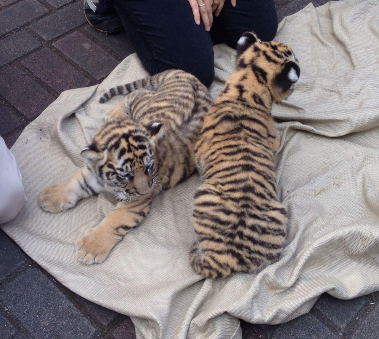 Lucunya Dua Bayi Harimau Benggala