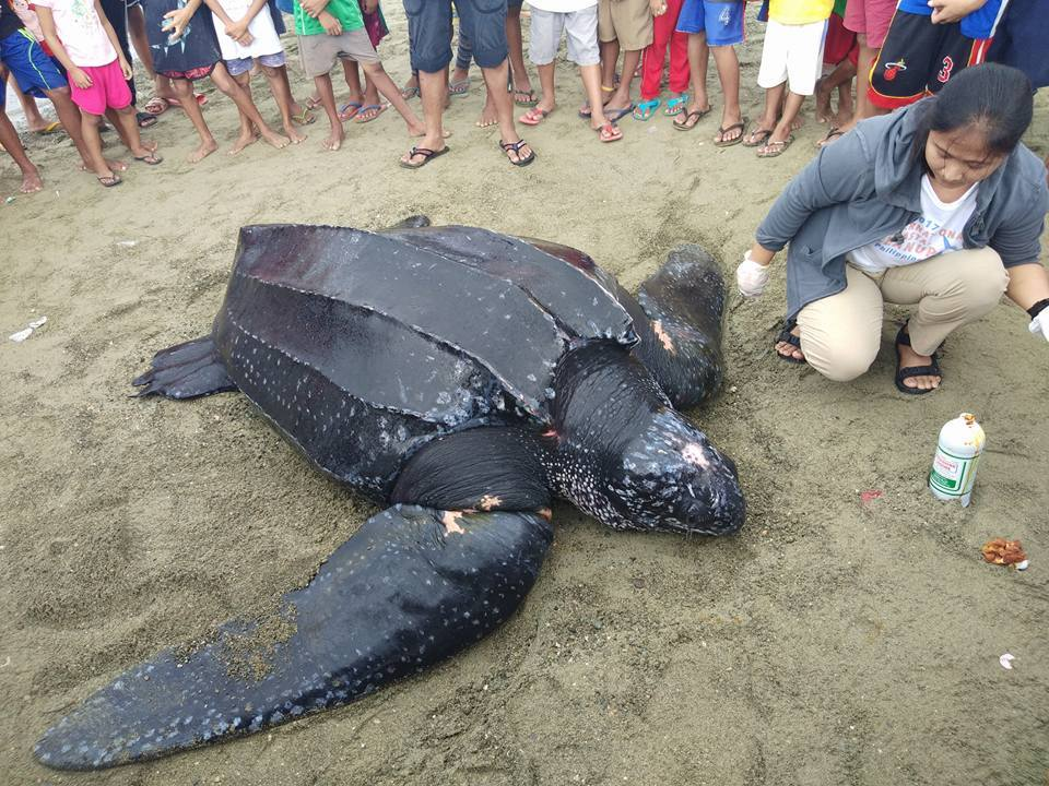 Giant Leatherback Turtle -- Black Sea Turtle Facts And ...