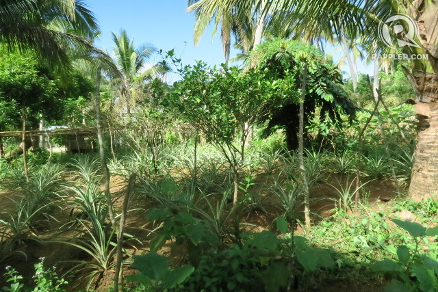 MULTI-LEVEL. In agroforestry, crops of different heights are grown to create a 'microclimate.'