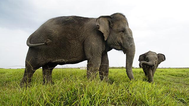 Decapitated Sumatran elephant found dead in Indonesia