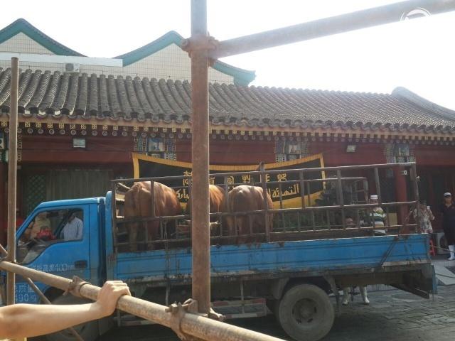 HEWAN KURBAN. Sapi yang akan dijadikan hewan kurban di Masjid Niujie, Beijing pada Senin, 12 September. Foto oleh Uni Lubis/Rappler