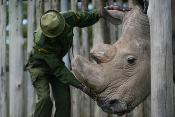 Last male northern white rhino dies in Kenya – keepers