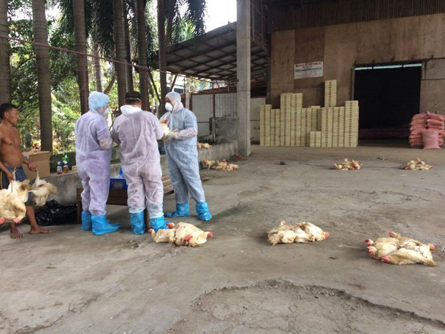 6 tips from doh on how to be safe from bird flu for Bureau quarantine philippines